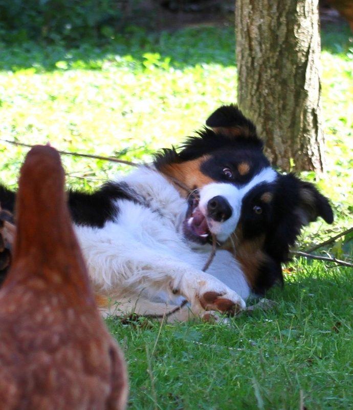 Pasterski Pies: Argonik-Duponik i kury