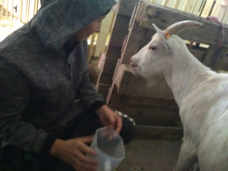 Wiktor i kozy