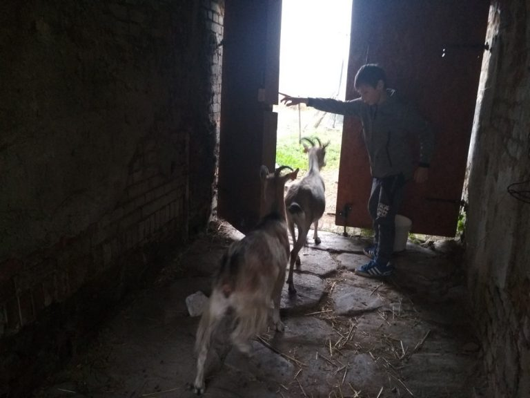 Wiktor i kozy 7