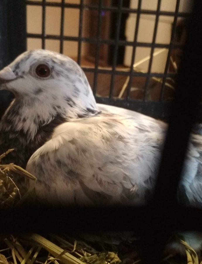 Historia pewnego gołębia