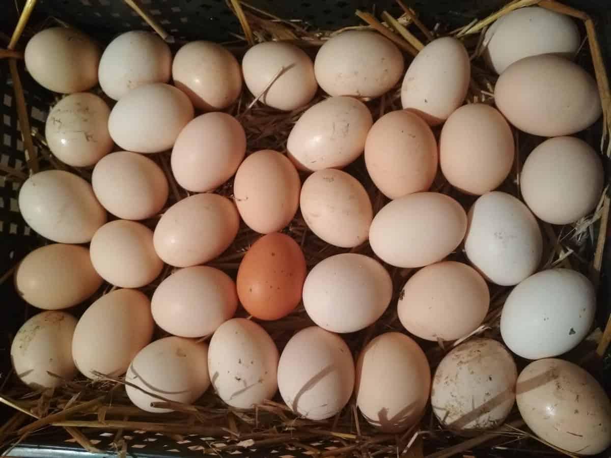 jajka 1