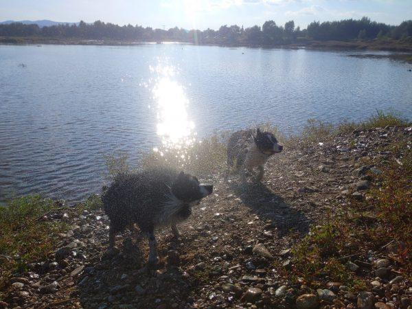 aussie, black tri, jezioro, woda, psy, kąpiel
