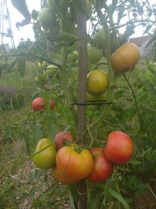 pomidory ze wsi, ekopomidory, pomidory ze wsi