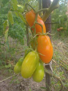 ekouprawa, zdrowe pomidory