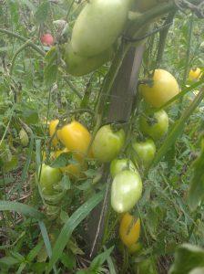 smaczne pomidory, ekopomidory