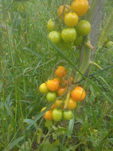 pomidorki, ekologiczne pomidory