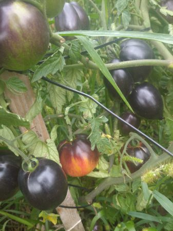 czarne pomidory, oryginalne pomidory, wow pomidory
