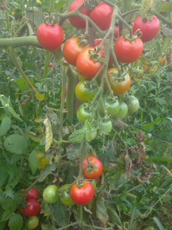 gałązka pomidorów, zdrowe pomidory