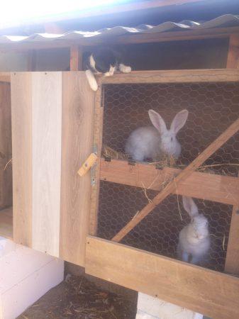 króliki, klatka kennelowa, hodowla, zwierzęta, polska wieś